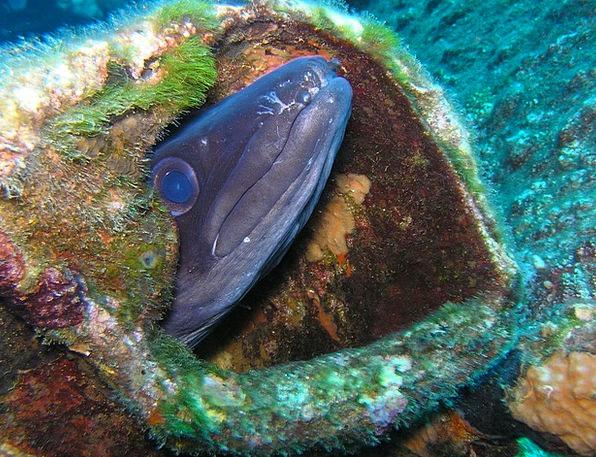 Congeraal Headfirst Underwater Submerged Diving Ee