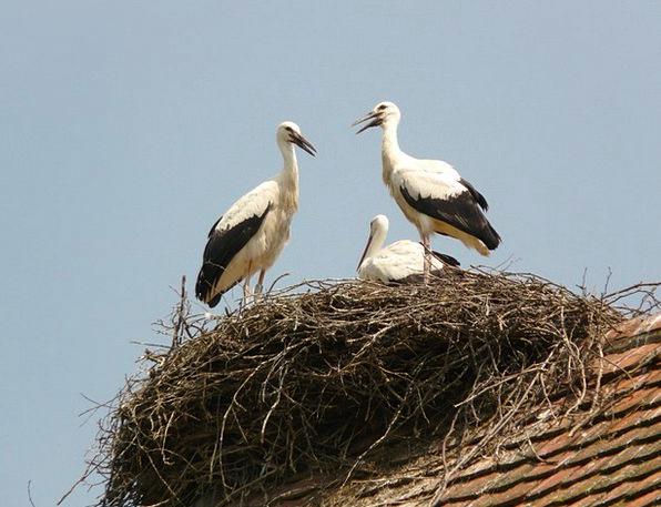 Stork Bird Fowl Storchennest Hatching Shading Bree