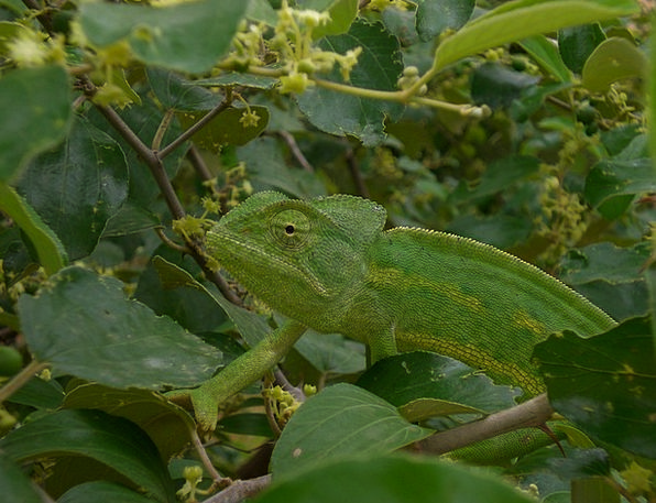 Chameleon Trimmer Imitation Green Lime Mimicry