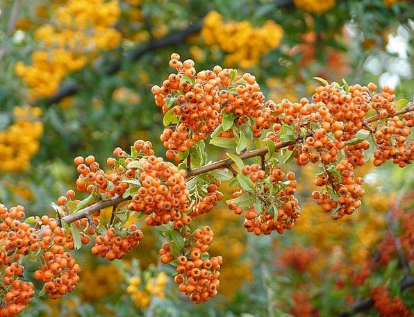 Firethorn Landscapes Carroty Nature Plant Vegetabl
