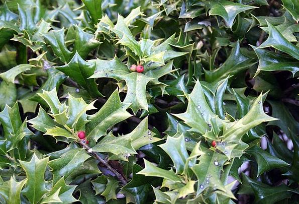 Holly Green Lime Berries Seasonal Holiday Break Fe
