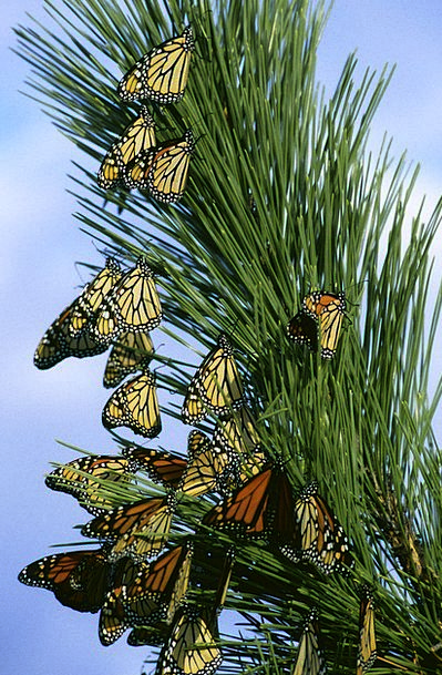 Monarch Butterflies Landscapes Nature Insects Bugs