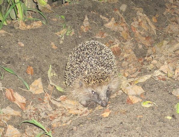 Hedgehog Branch Hibernation Spur Nocturnal Nightti