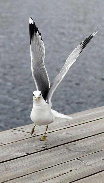 Seagull Fowl Wings Annexes Bird Birds Natures Anim