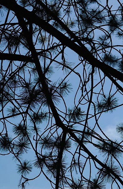 Branch Division Pointers Black Pine Needles Wester