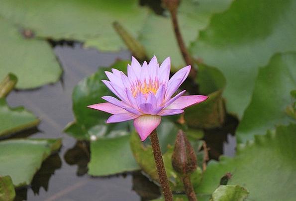 Lotus Flower Floret Waterlily Peace Petal Floral B