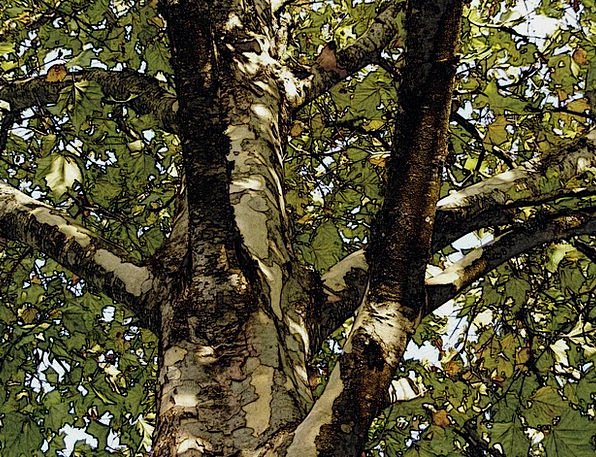 Plane Tree Sycamore London Plane Tree Pencil Sketc