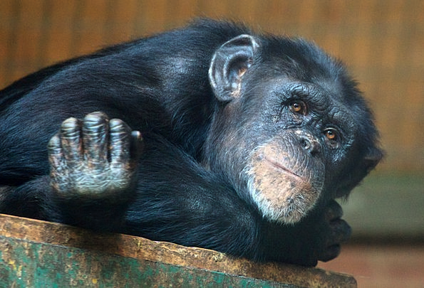 Animal Physical Chimp Ape Relaxed Chimpanzee Prima