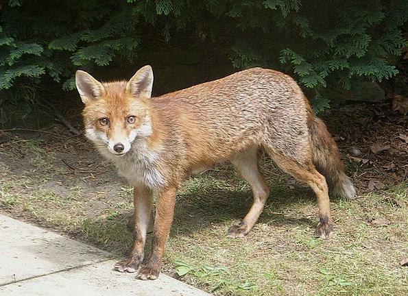 Fox Deceive Physical Wildlife Animal Carnivore Wil