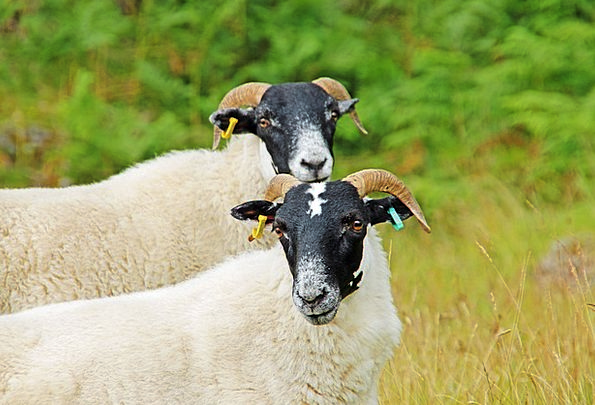 Sheep Ewe Pair Scotland Duo Highlands And Islands