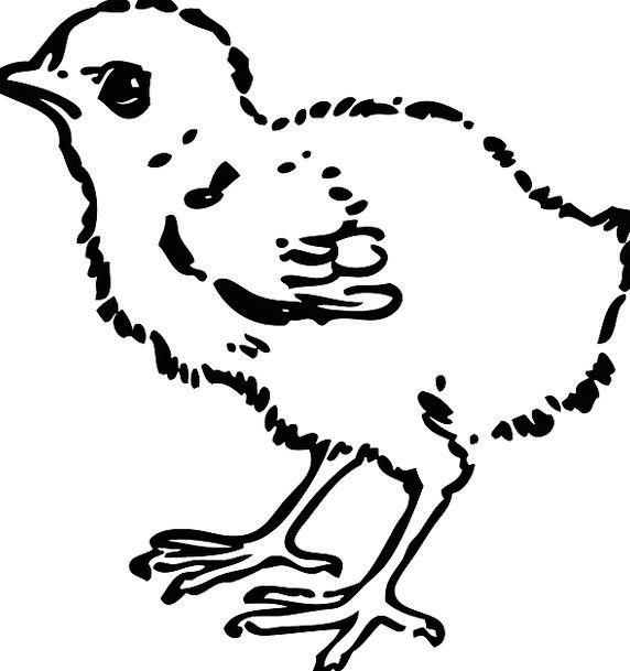 Chick Hatchling Young Chicken Baby Chicken Baby bi