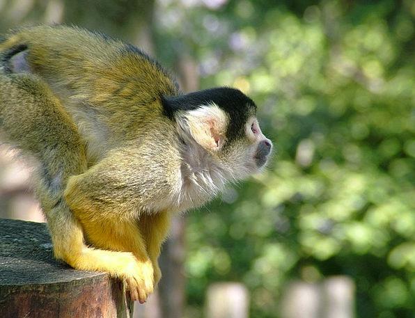 Monkey Ape Squirrel Monkeys Dead Chief Monkey Saim