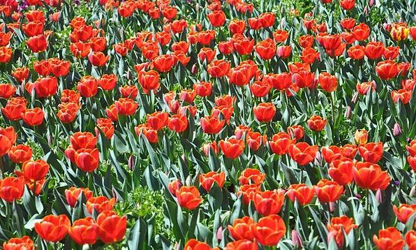 Flower Floret Landscapes Nature Red Bloodshot Tuli