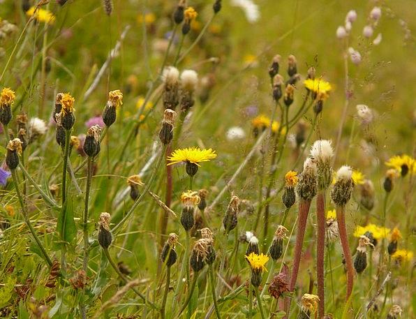 Alphabet Script Field Berg Hawksbeard Meadow Crepi