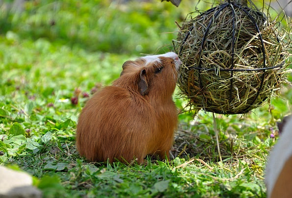 Guinea Pig Pet Domesticated Young Animal Nager Rod