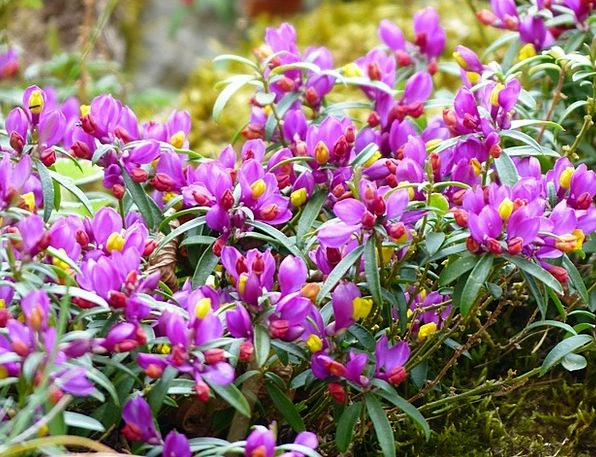 Polygala Chamaebuxus Floret Purple Elaborate Flowe