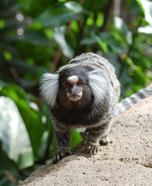 Monkey Ape Physical Wildlife Nature Animal Wild Ro