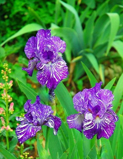 Irises Landscapes Floret Nature Violet Mauve Flowe