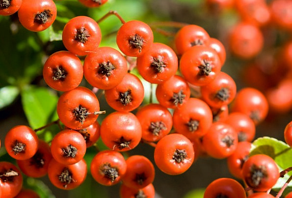 Berry Red Bloodshot Berries Ripe Ready Macro Instr