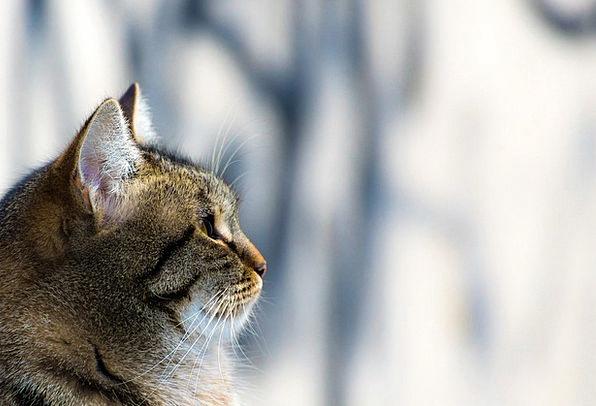 Cat Catlike Pet Domesticated Feline Animal Physica