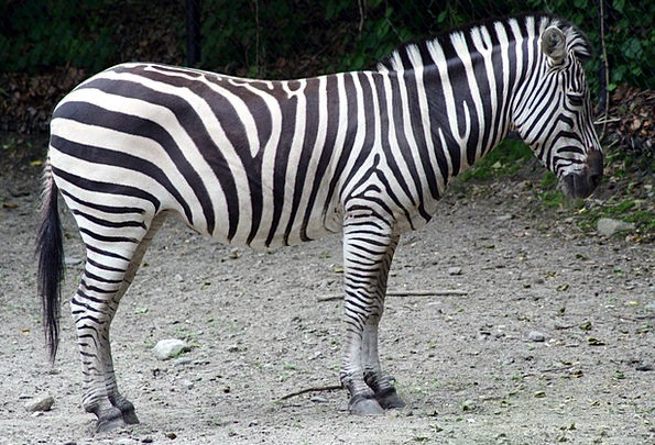 Zebra Menagerie Animal Physical Zoo Black Dark Whi