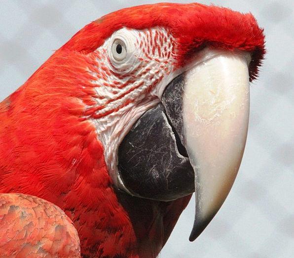 Macaw Bloodshot Parrot Imitator Red Beak Bird Fowl
