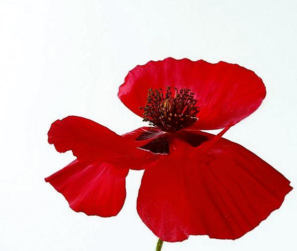 Poppy Floret Wild Flower Flower Summer Straw-hat S