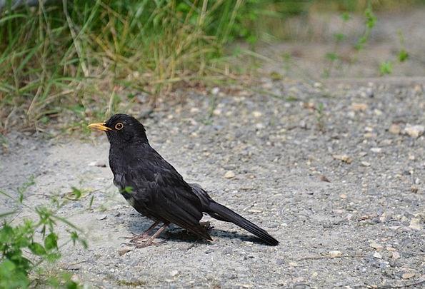 Blackbird Fowl Animal Physical Bird Black Dark Nat
