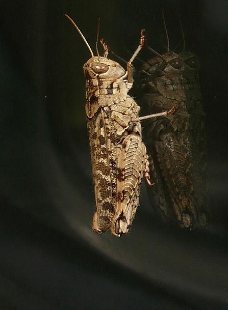Grasshopper Calliptamus Italicus Italian Locust An