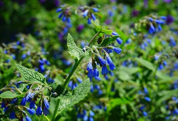 Rough Comfrey Landscapes Floret Nature Blue Azure