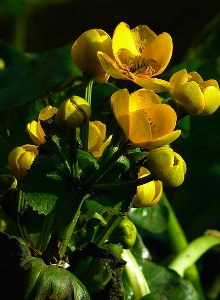 Caltha Palustris Yellow Creamy Hahnemann Foot Gree