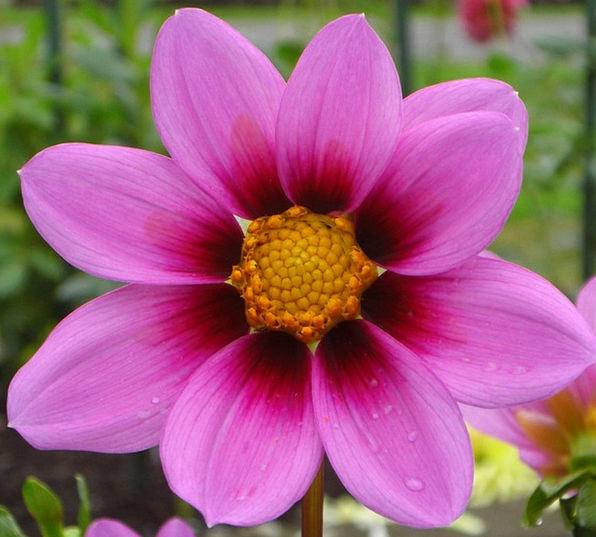 Cosmos Flower Floret Pink Flushed Flower Purple El