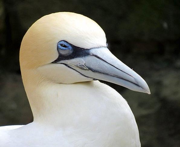 Gannet Glutton Bird Fowl Sea-Bird Beak Bill Nature