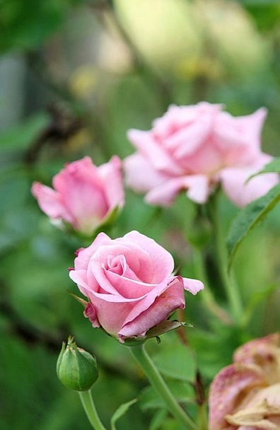 Roses Designs Landscapes Plot Nature Rose Design G
