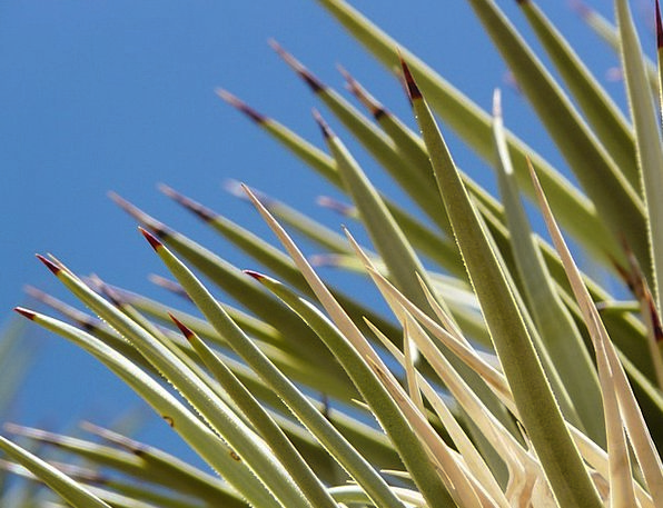 Agave Landscapes Nature Leaves Greeneries Cactus S