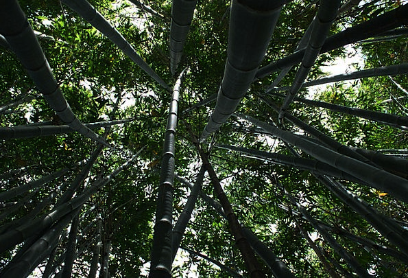 Bamboo Cane Landscapes High Nature Plant Vegetable