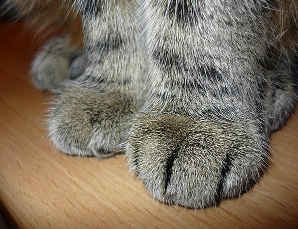 Cat Feline Paw Print Cat'S Paw Domestic Cat Paws H