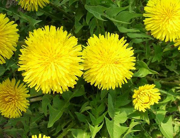 Dandelion Landscapes Vegetable Nature Nature Count