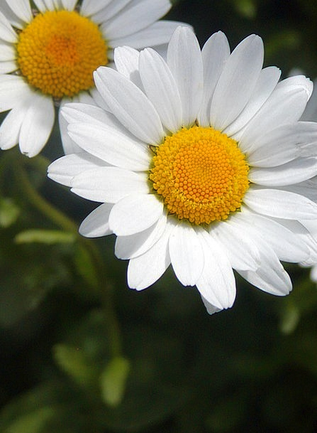 Daisy Coil Yellow Creamy Spring Whites Tickets Det
