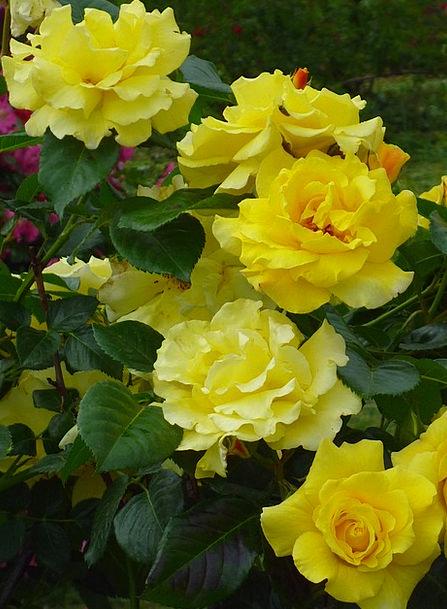 Rose Design Landscapes Nature Lemon Yellow Bloomin