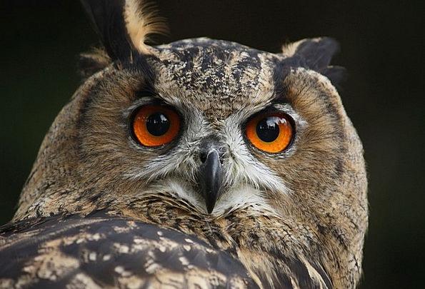 Waldkautz Eagle Owl Owl Nocturnal Nighttime Bird F