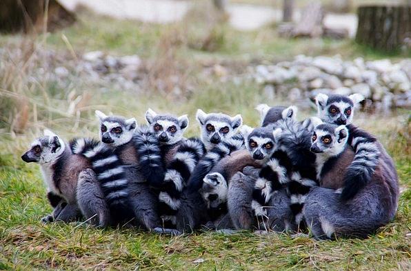 Lemurs Lermuren Prosimians Sit Be seated Relations