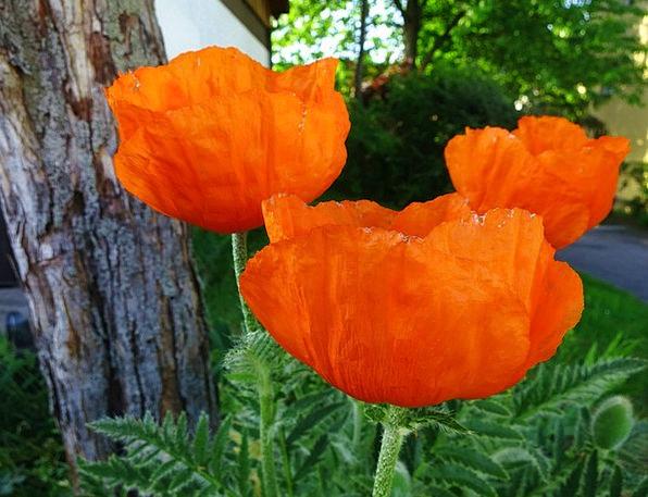 Flower Floret Landscapes Nature Spring Coil Poppy