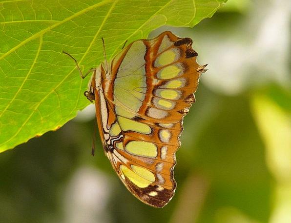 Malachite Butterfly Siproeta Stelenes Butterfly Gr