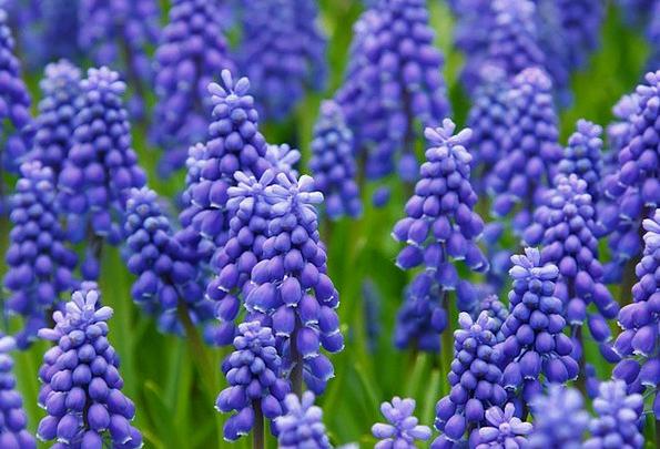 Hyacinth Grape Hyacinth Muscari Garden Flowers Pla