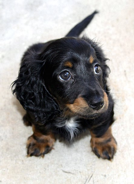 Dachshund Puppy Brat Longhair Cute Hound Dog Doggy