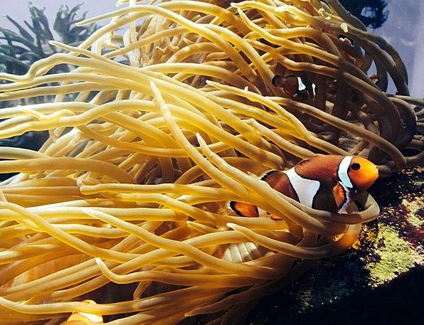 Sea Anemone Vacation Travel Fish Angle Anemone Cor
