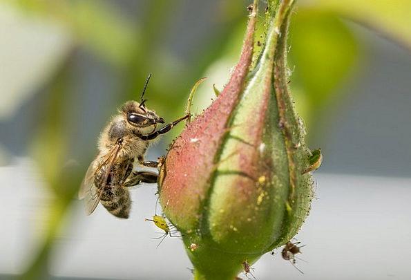 Honey Bee Nectar Liquid Bee Nature Insect Bug Plan
