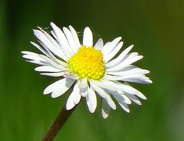 Daisy Landscapes Floret Nature Plant Vegetable Flo