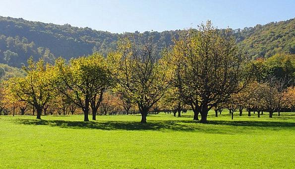 Orchard Plantation Landscapes Sapling Nature Fruit